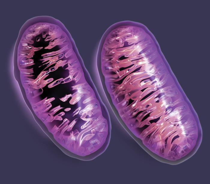 Митахондрии в мышечных клетках